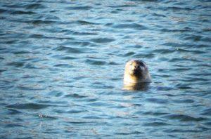 Seehund in der Kieler Foerde Plueschowhafen